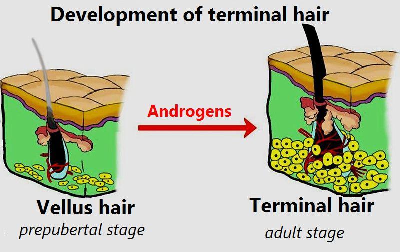 phase anagène du poil
